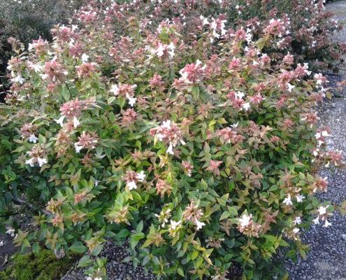abelia-grandiflora-prostrata-ok