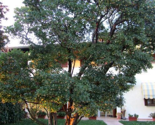 arbutus-unedo-corbezzolo-v