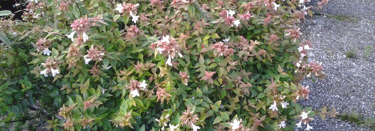 Abelia grandiflora