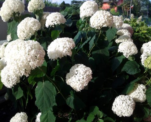 hydrangea-arborescens-annabelle-ok