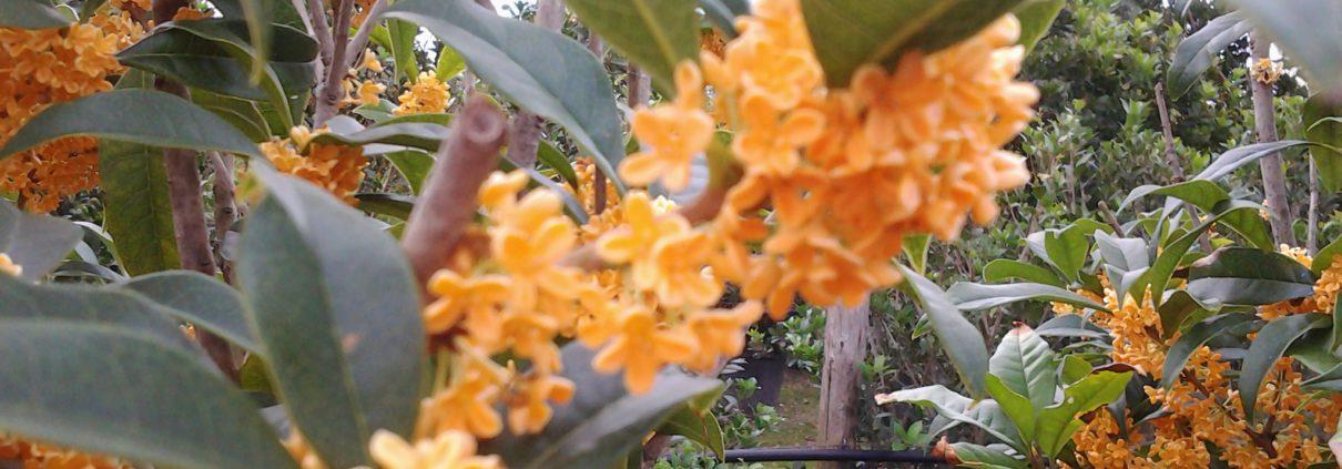 Olea fragrans rubra particolare dei fiori. I fiori possono essere anche bianchi.