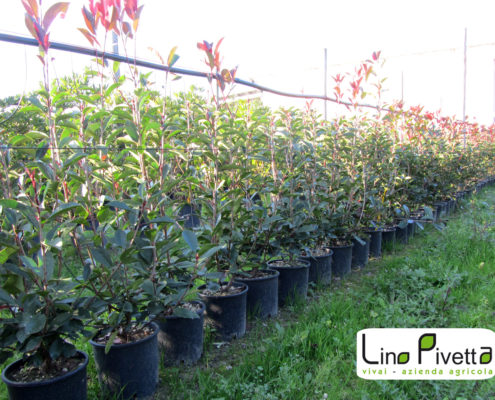 photinia-fraseri-red-robin-ok