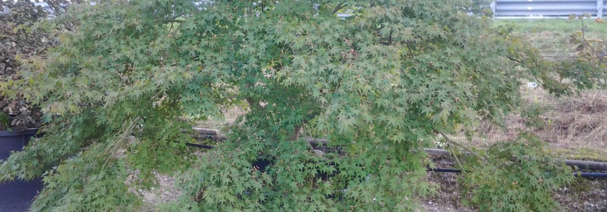 acero-palmatum-verde
