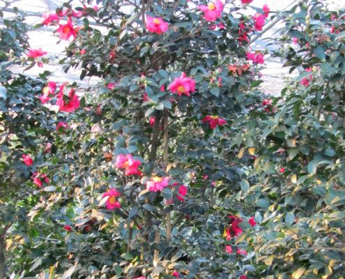 camellia-sasanqua-hiryu-ok