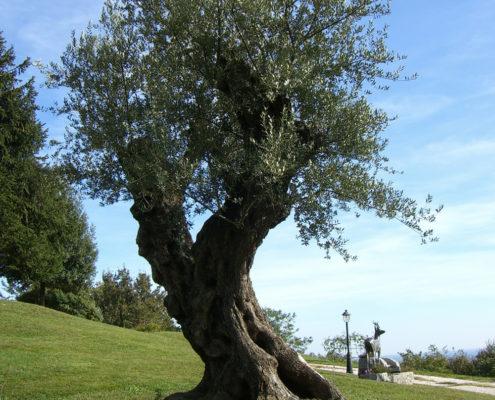 olea-europea-olivo-v