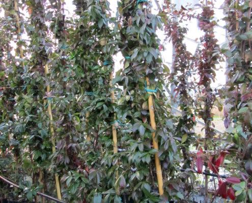 rhyncospermum-jasminoides_o