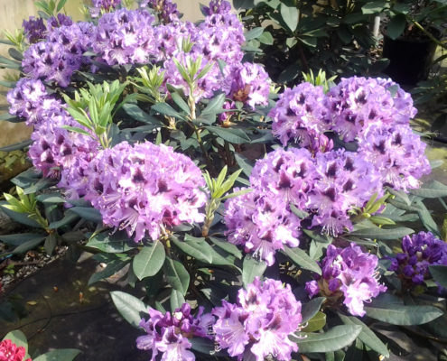 rododendro-hibrido-blue-peter-ok